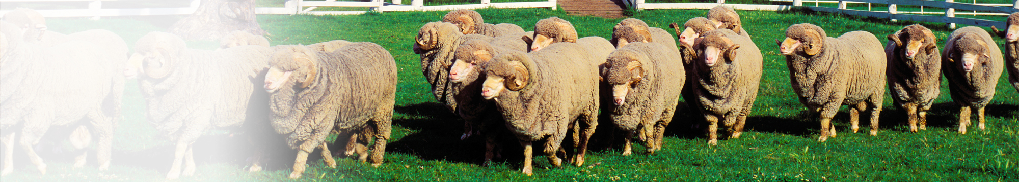 NEW-HEADER1_Sheep.2000